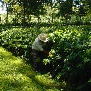 INTERNATIONAL COFFEE ORGANIZATION (ICO): RAPPORTO MERCATO MONDIALE CAFFÈ APRILE 2011