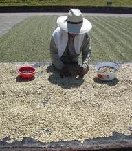 International Coffee Organization Rapporto Mercato Mondiale Caffè Agosto