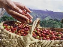 International Coffee Organization Rapporto Mercato Mondiale Caffè Dicembre