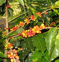 International Coffee Organization Rapporto Mercato Mondiale Caffè Giugno