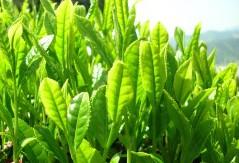 Tè Verde Verde Caffèina Contribuisce Controllo Glicemia