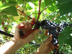Fedagri su vendemmia 2012,: buona la qualità, si attende un generale calo produttivo
