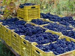 Supera i 6,8 milioni di quintali l'uva trasformata dalle cantine sociali di Fedagri/Confcooperative e Legacoop agroalimentare dell'Emilia Romagna