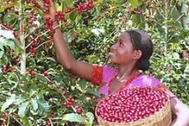 ethiopia_coffee_farm
