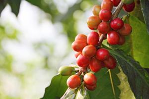 GENOMA DEL CAFFE': scoperto cosa lo rende tanto speciale
