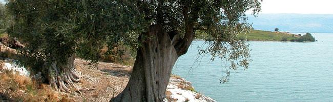 unaprolo-albero-olivo-e-mare