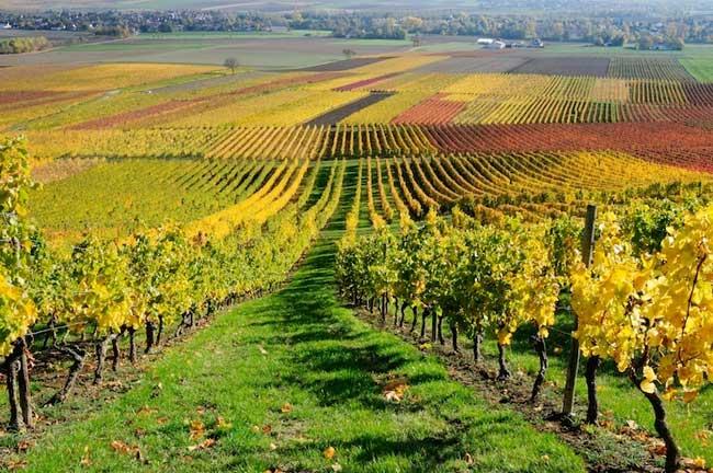 vite-vigneto-campo-autunno
