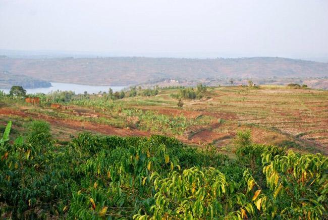 piantagioni-Rwanda