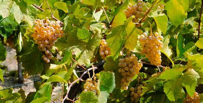 vigna con uva bianca
