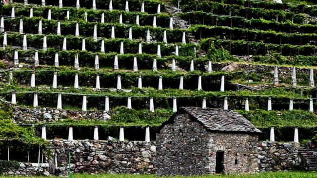 vigneti-e-terrazzamenti-a-DOnna-Valle-d'Aosta-Nebbiolo