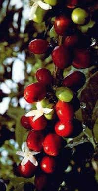 Mercato mondiale caffè: la produzione non sta al passo con la domanda