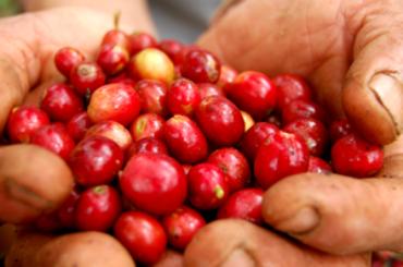 Coffee_berries,_fresh