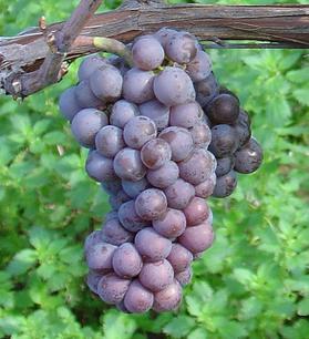 Tutela Mipaf Consorzio Vini Doc Delle Venezie Vini Triveneto Consorzio Venezie Grigio Pinot Pinot Grigio Protezione