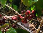 CSC in Guatemala con Amka. Sostegno ai piccoli produttori di caffè