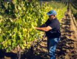 Vendemmia 2020:  buona qualità ma attenzione ai prezzi delle uve