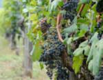 """I migliori vini di Liguria e Valle d'Aosta che hanno ottenuto il riconoscimento """"Tre Bicchieri"""" 2021"""